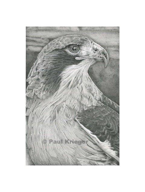 A graphite drawing of a red-tailed hawk.