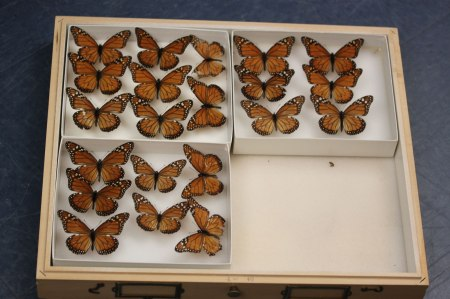 Three boxes inside of a case hold preserved South American monarch butterflies (Danaus erripus).