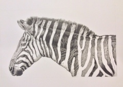 A pencil drawing of a zebra
