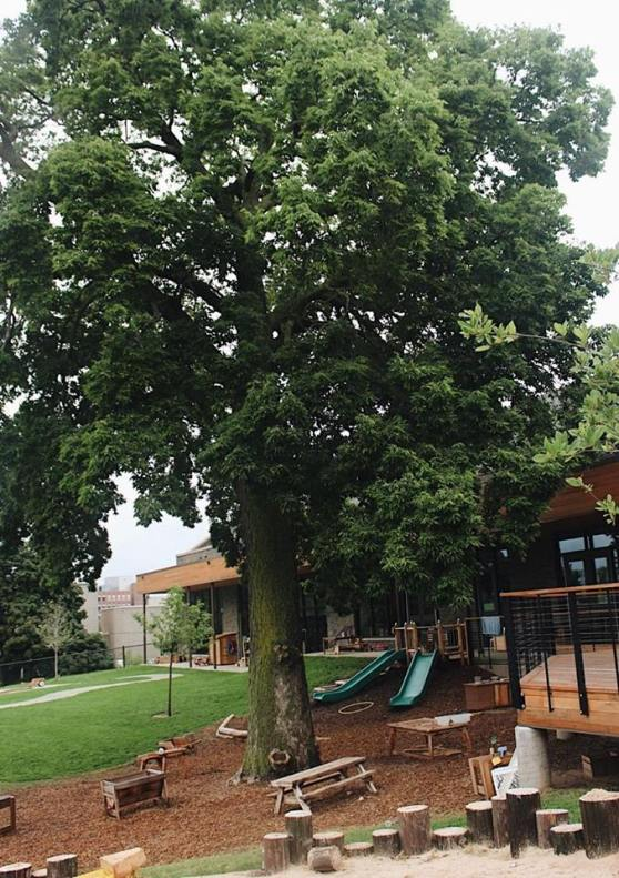 The Hackberry tree at the Phyllis Fratzke Early Childhood Learning Laboratory playground.