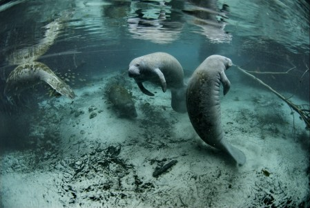 An underwater photograph of manatees.