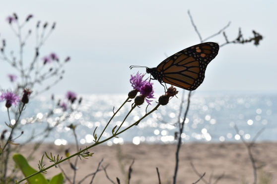 Photo of a monarch butterfly perched on a spotted knapweed blossom on the beach.