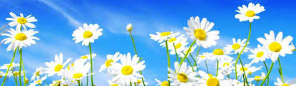 Daisies with a blue sky behind them.